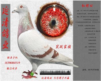 退役种鸽,1000元专区