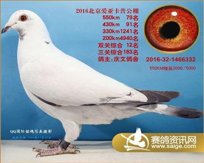 北京爱亚卡普鸽王
