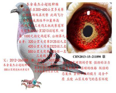 乐鲲赛鸽育种中心