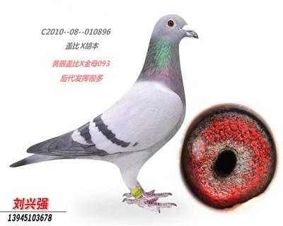 白腹号近亲直孙本舍超重量级鸽。