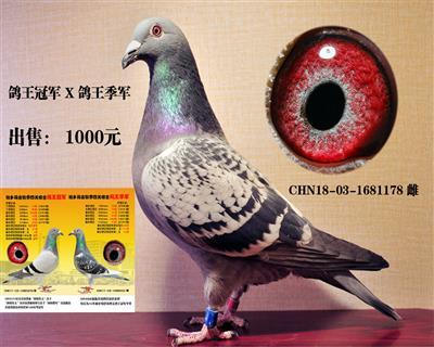 鸽王X鸽王 出售:1000元