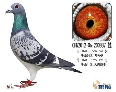 子代做出多羽成绩鸽200887