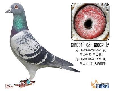 子代做出多羽成绩鸽180039
