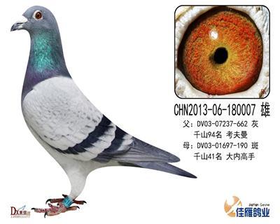 子代做出多羽成绩鸽180007