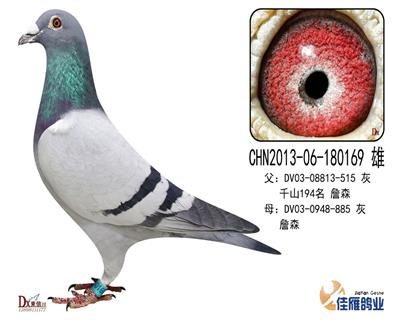 子代做出多羽成绩鸽180169