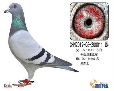 子代做出多羽成绩鸽200011