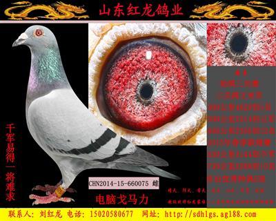 鸽棚拆迁所有种鸽清棚忍痛出售