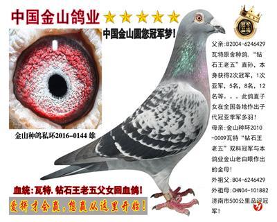 瓦特:钻石王老五双料冠军与它女儿回血鸽!