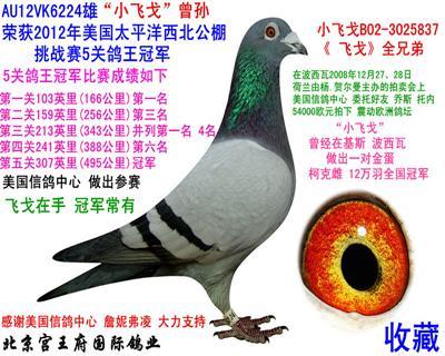 """""""小飞戈""""五关鸽王冠军"""