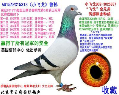 """313""""小飞戈""""六关鸽王冠军"""