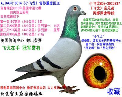 """""""小飞戈""""四关鸽王冠军"""