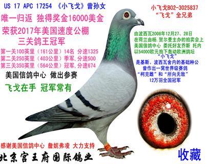 """独行""""小飞戈""""三关鸽王冠军"""