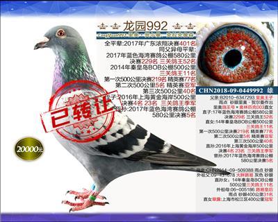 迎新年 精品种鸽 1