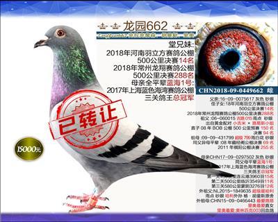 迎新年 精品种鸽 7