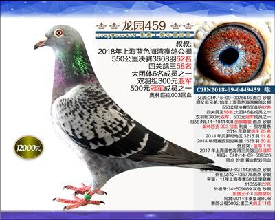 迎新年 精品种鸽 9