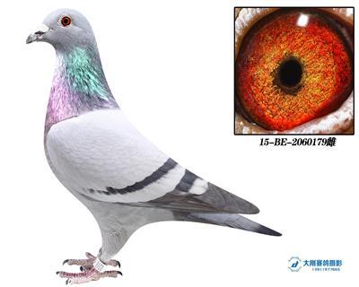 比利时圆环种鸽