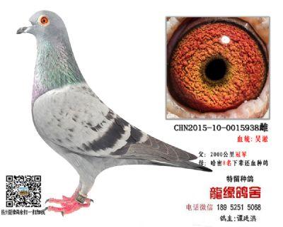 吴淞种鸽45