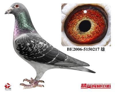 全国鸽王冠军-卡萨瓦诺