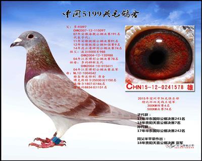 多利红鸽王