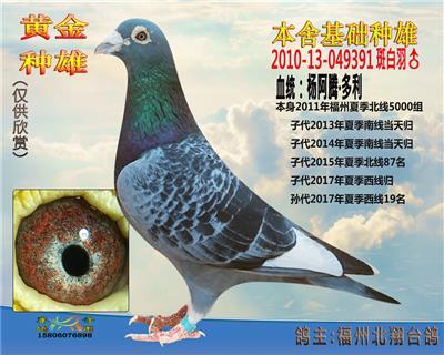 石斑白条杨阿腾超级种雄