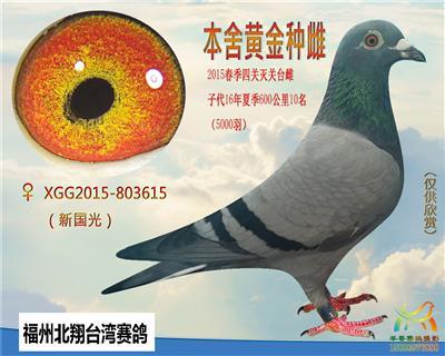 台湾势山系灰母(子代已发挥)