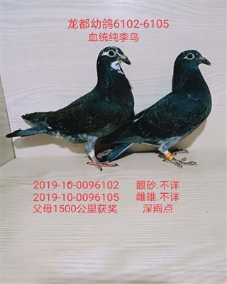 龙都幼鸽6102-6105