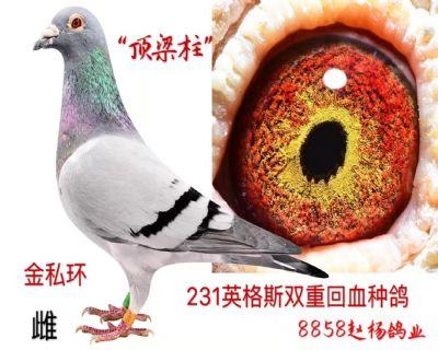 钻石级优秀种鸽