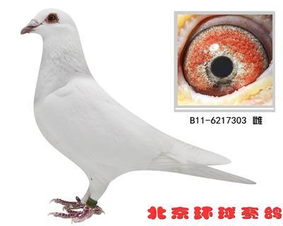 乔斯托内原环种鸽