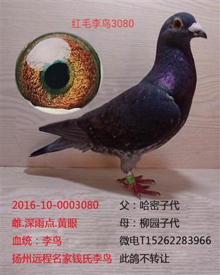 红毛李鸟3080