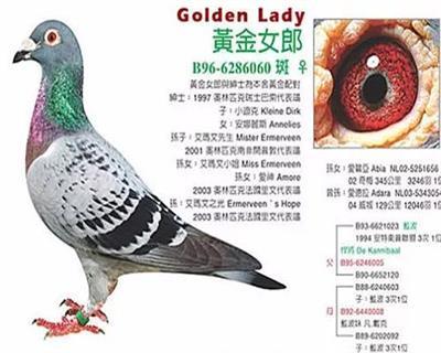 世界大名鸽黄金女郎