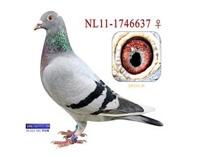 米卫金白翼637