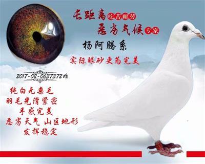 白色杨阿腾