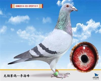 灰砂雌(种鸽)