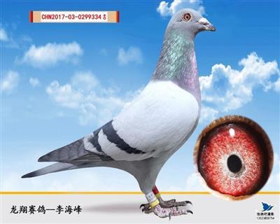 (特留种鸽)