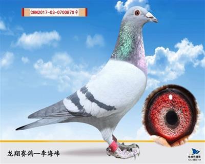 灰砂雌(特留种鸽)