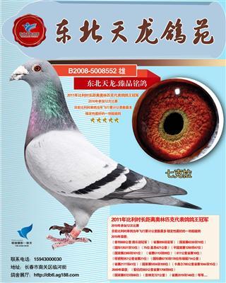 """长距离奥林匹克代表鸽1位 """"七克拉"""""""
