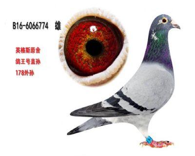 BELG16-6066774