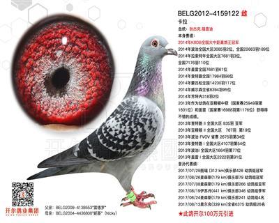 【卡拉】:14年KBDB大中距鸽王冠军!
