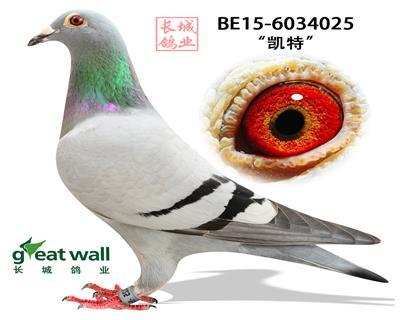 【凯特】全国一岁鸽9540羽冠军