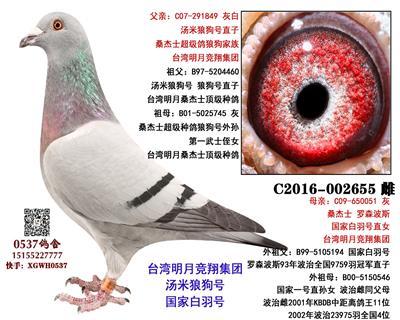 台湾明月 桑杰士狼狗 极品鸽