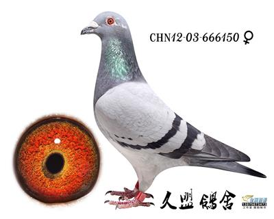 鸽王150
