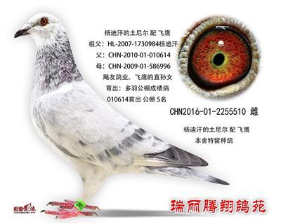 杨迪汗的土尼尔 配 飞鹰