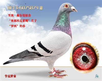 奥林匹克雀鹰罗西