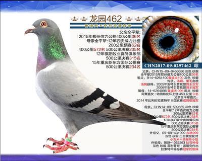 优质种鸽 6