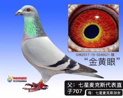 """七星麦克斯顶尖直孙""""金黄眼"""" 非卖品"""
