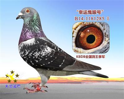 KBDB全国鸽王季军