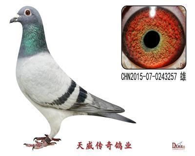 天威3号种鸽