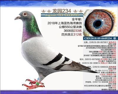主血种鸽 1