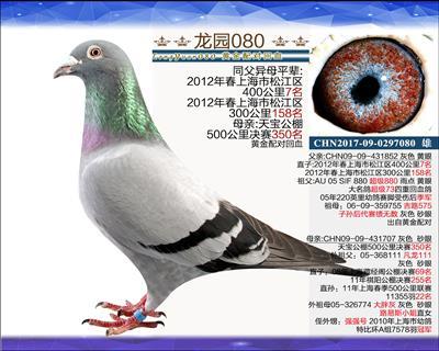 主血种鸽 3