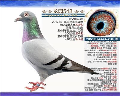 主血种鸽 4